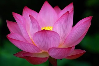 Big dark pink Lotus Flower photo.jpg