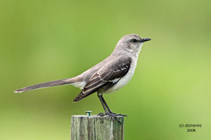 mockingbird0661.jpg